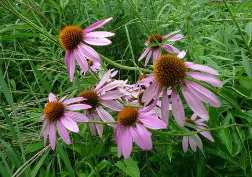 purpleconeflowers
